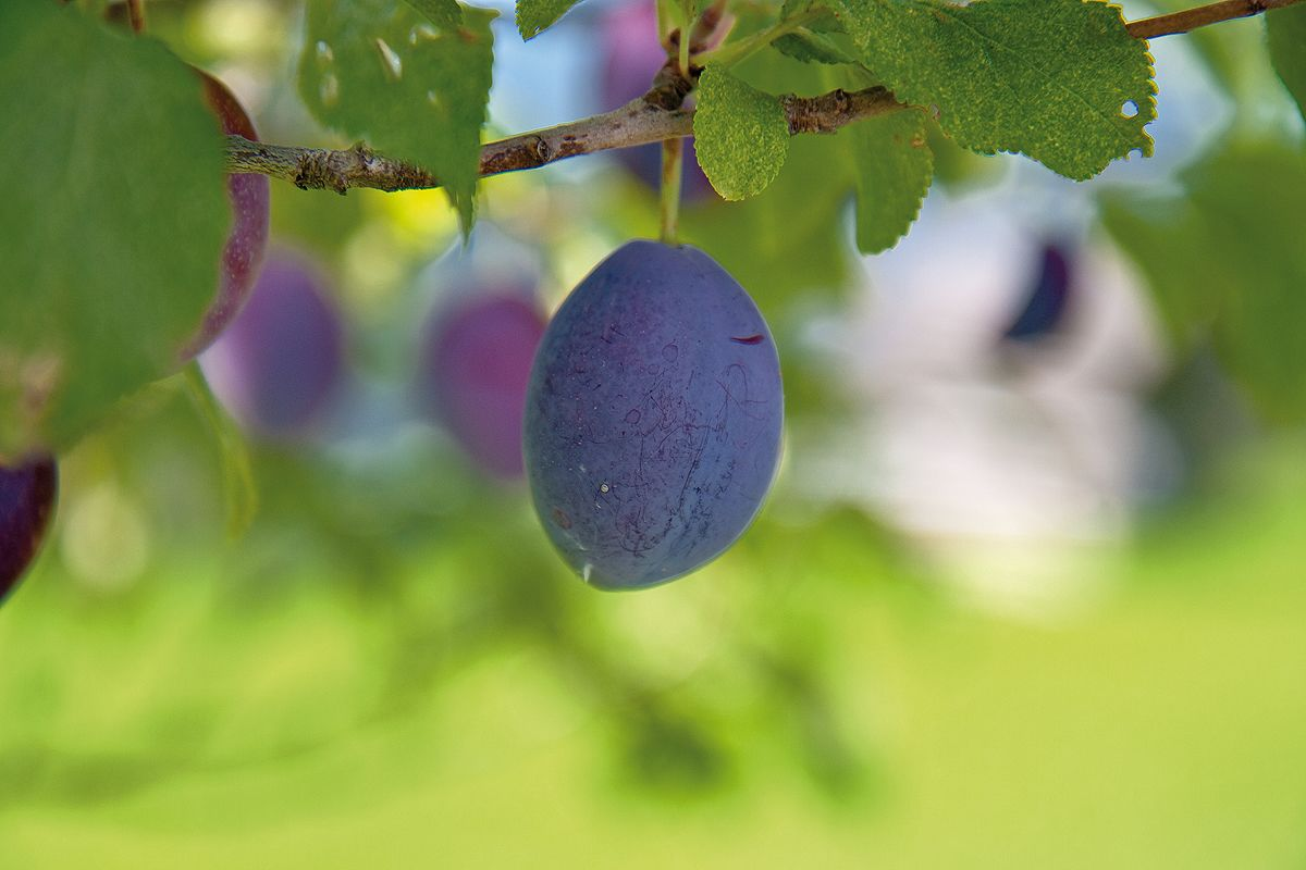 Punch plum